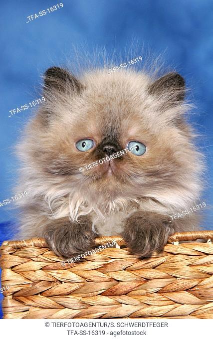persian kitten colourpoint in basket