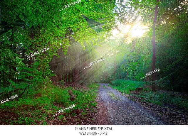 path through beech forest with sunrays shining in, location:warstein,sauerland,germany,