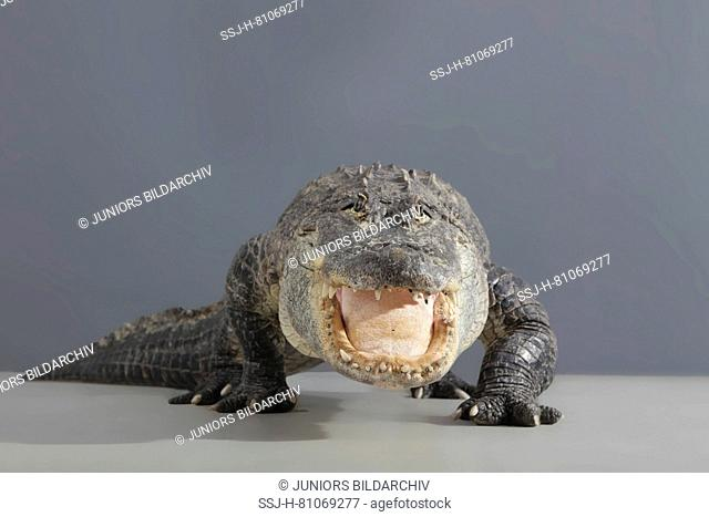 American Alligator (Alligator mississippiensis) standing, seen head-on. Studio picture against a gray background