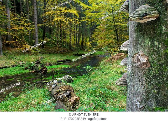 Tinder fungi (Fomes fomentarius) and the Kirnitzsch river flowing through Kirnitzschtal, Elbe Sandstone Mountains, Saxon Switzerland-East Ore Mountains, Saxony