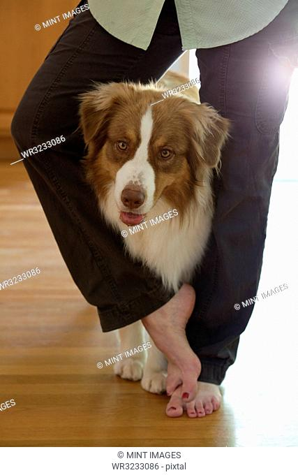 Male Australian Shepherd standing between the legs of his female owner