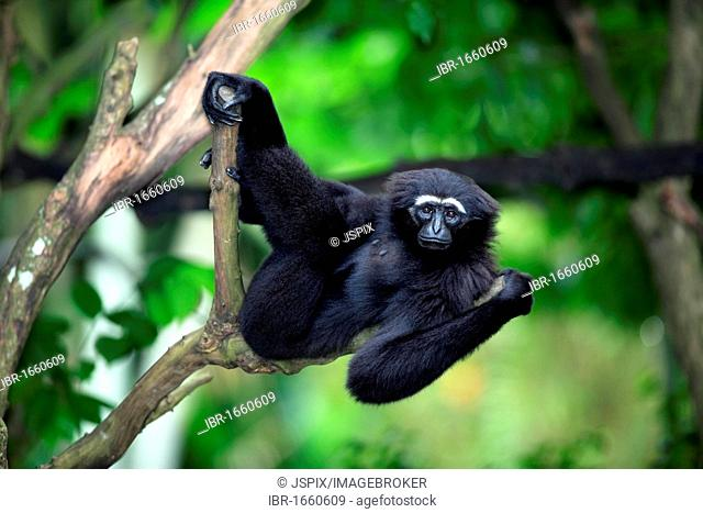 Agile Gibbon or Black-handed Gibbon (Hylobates agilis), adult in a tree, Asia
