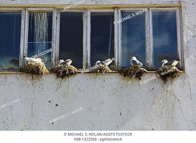 Adult black-legged kittiwakes Rissa tridactyla nesting on window ledge in the town of ˜, Norway