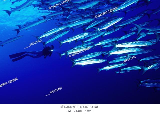 Chevron barracuda Sphyraena qenie  Witu Islands  Papua New Guinea