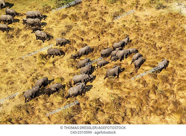 African Elephant (Loxodonta africana), breeding herd, roaming, aerial view, Okavango Delta, Moremi Game Reserve, Botswana