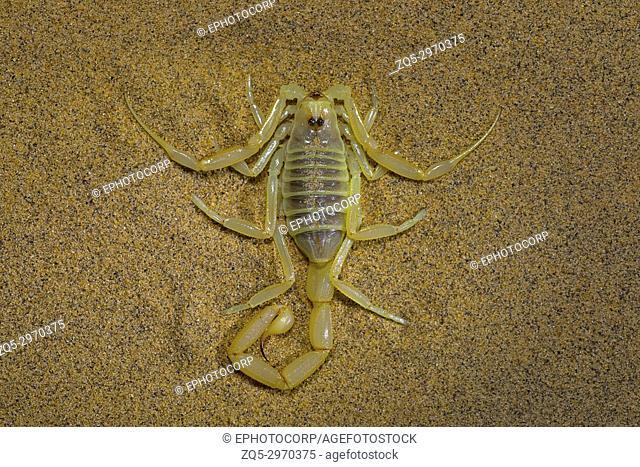 Scorpion, Buthacus sp. , Desert National Park, Rajasthan, India