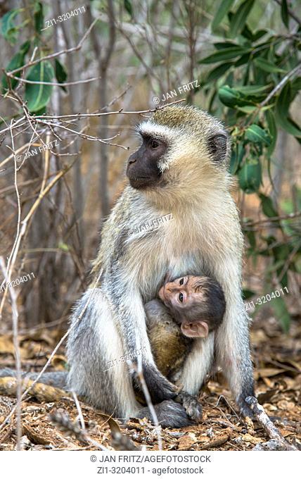 monkey (chlorocebus pygerythrus) with baby in Tsavo East Wildpark, Kenya