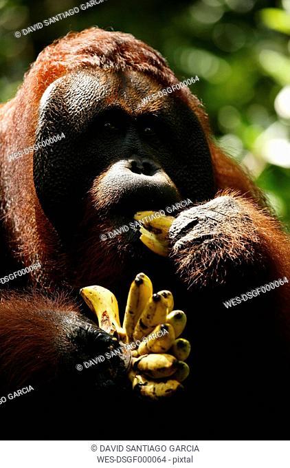 Indonesia, Borneo, Tanjunj Puting National Park, View of Bornean orangutan eating banana in forest, close up