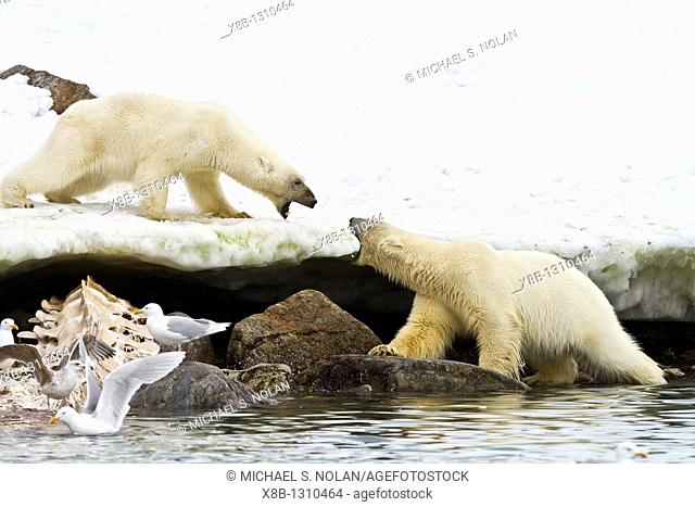 Mother polar bear Ursus maritimus and COY cub-of-year disputing and then allowing a male bear to feed on a fin whale carcass in Holmabukta on the northwest...