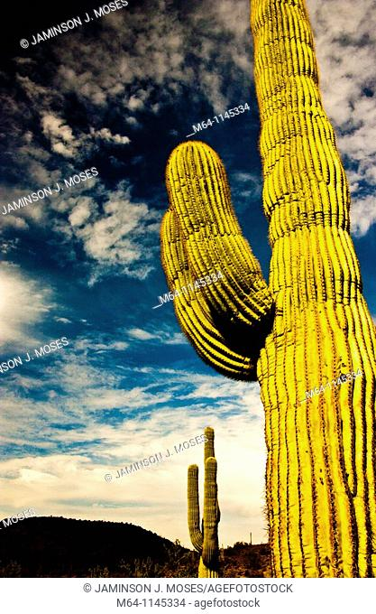 Saguaro cactus in the southern Arizona Desert