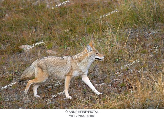 Coyote (Canis latrans), Rocky mountains, Canada