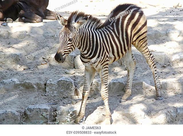 Pretty young zebra