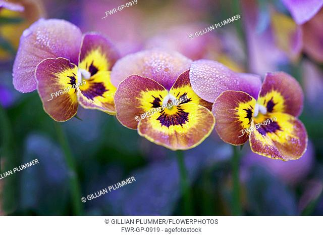 Viola, Viola x wittrockiana 'Deltini Honey Bee', Close front view of three flowers with splashes of burgundy and yellow, overlapping in a line and dusted with...
