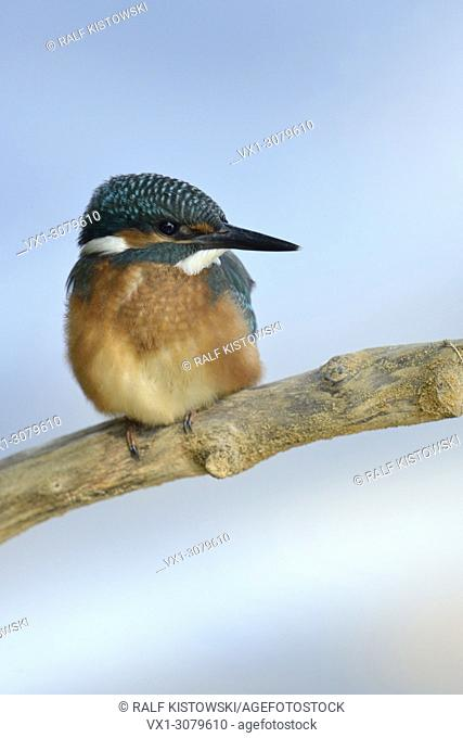Common Kingfisher ( Alcedo atthis ), young colourful bird, sitting on a branch high up over soft blue water, wildlife, Europe