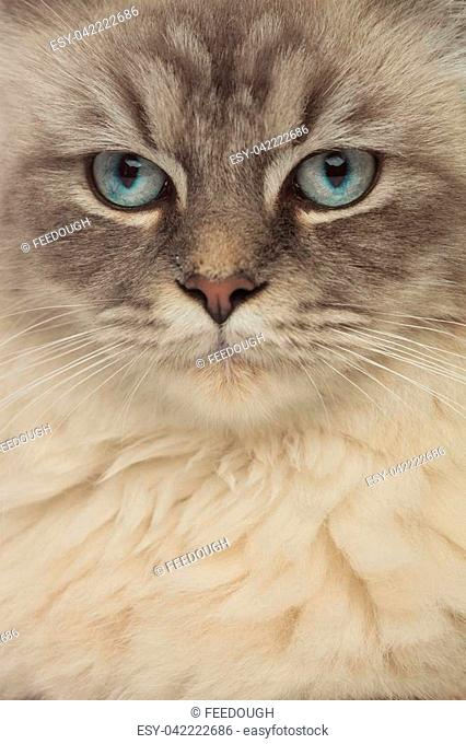 close up of grey cat with blue eyes looking to side with only the head and the neck visible
