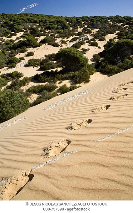 Footprints on the sands of Dune del Asperillo, in the Natural Park of Doñana, Doñana, Huelva, Andalucia, Spain, Europe