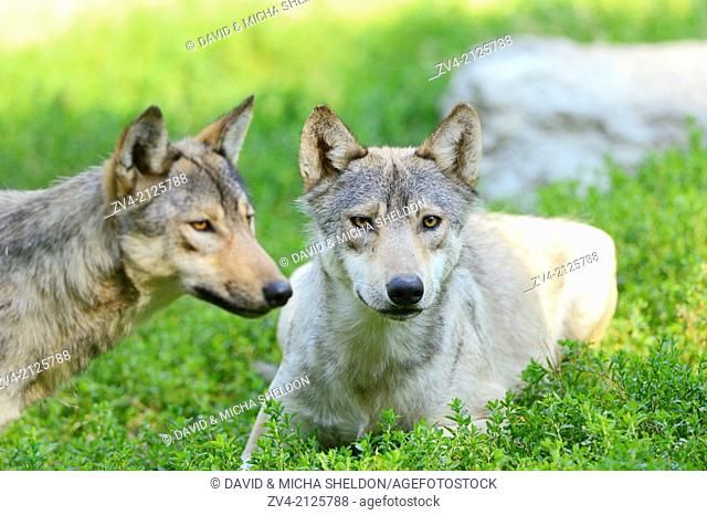 Two Eastern wolves (Canis lupus lycaon) lying on a meadow, Germany, Europe