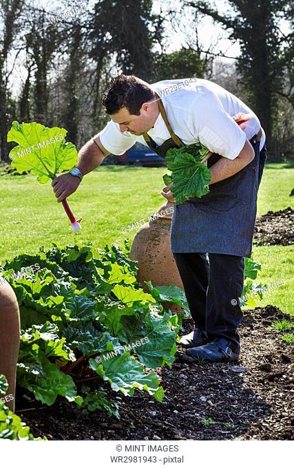 Man wearing chef's apron harvesting fresh rhubarb in a kitchen garden