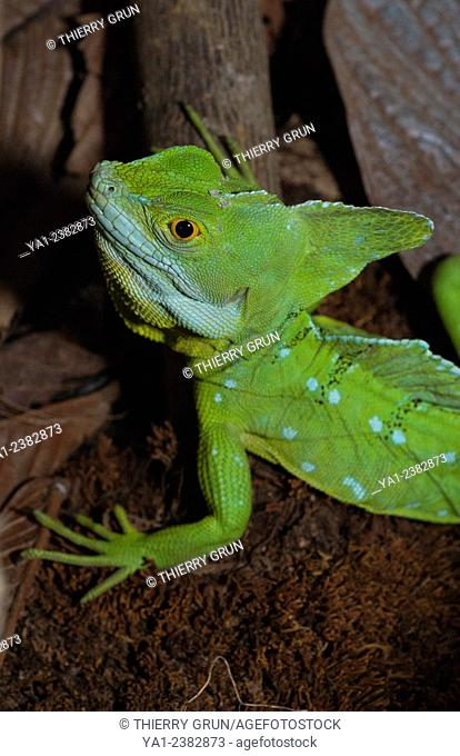 Costa Rica. La Fortuna, National park Volcan Arenal, plumed basilisk basiliscus plumifrons also called Jesus Christ lizard