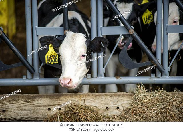 Cow's head pushed through a feeding gate in Millerstown, Pennsylvania, USA