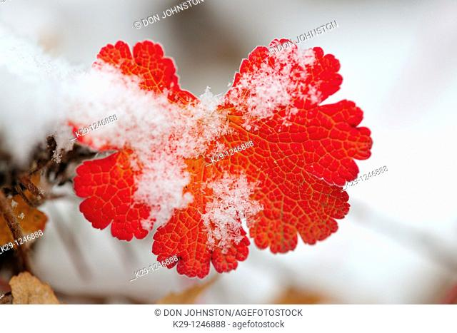 Geranium leaves in autumn, with a dusting of snow