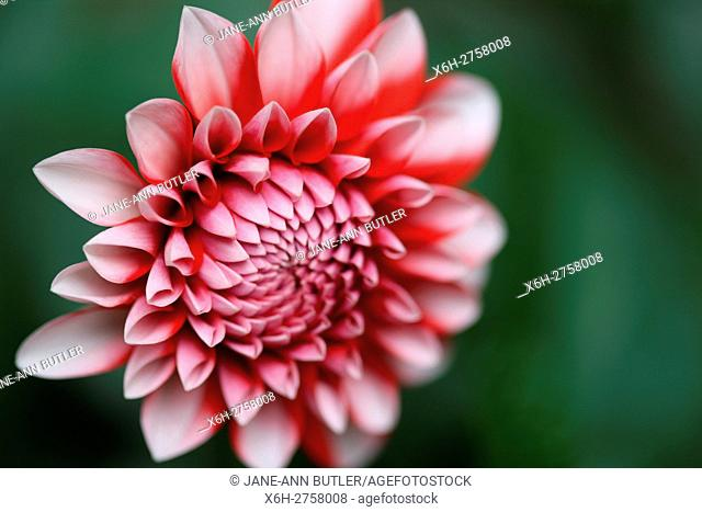 emerging red dahlia sun-kissed in summer. . . floral language symbolises dignity and gratitude