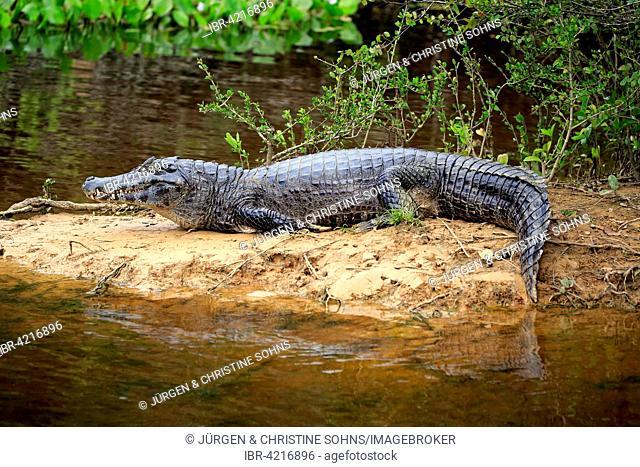 Yacare caiman (Caiman Yacare), adult, on the waterfront, sandbank, Pantanal, Mato Grosso, Brazil