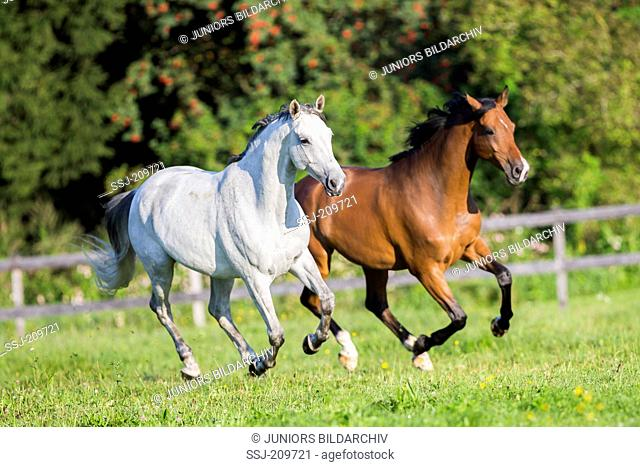 Trakehner. Bay and gray adult galloping on a pasture. Austria