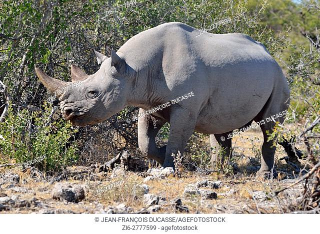 Black rhinoceros (Diceros bicornis), foraging, Etosha National Park, Namibia, Africa