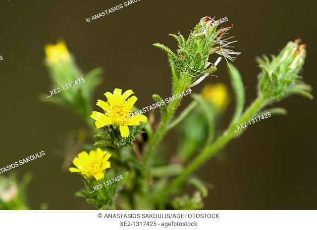Stinkweed or stinkwort - Dittrichia graveolens, Crete