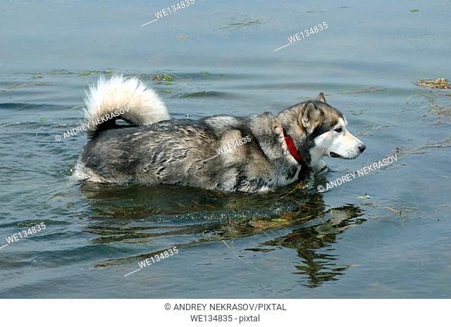 Alaskan Malamute (Canis lupus familiaris) swims in the Sea of Japan, Vladivostok, Far East Russia