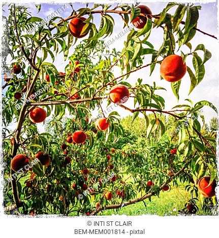 Close up of fruit growing on tree in orchard