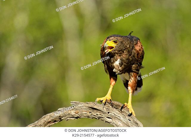 Harris Hawk (Parabuteo unicinctus), Rio Grande City, Texas, USA