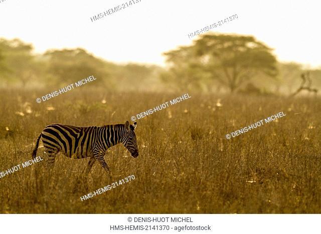 Kenya, lake Magadi, Grant's zebra (Equus burchelli granti)