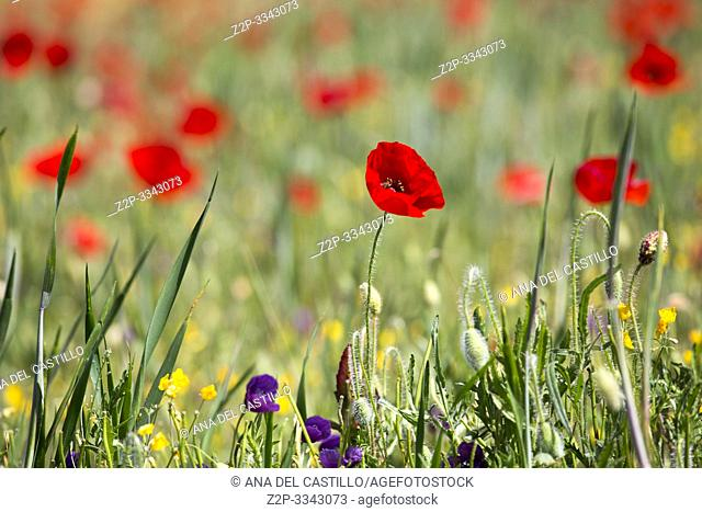 Spring meadow with poppies Teruel Aragon Spain