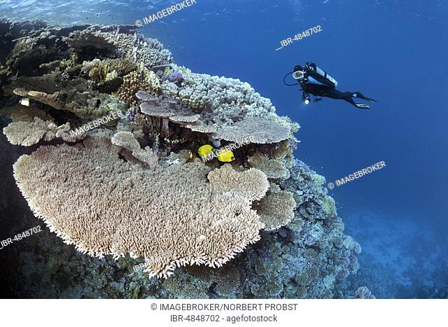 Diver viewing coral reef waste with Steinkoralle sp. (Acropora robusta), pair Bluecheek butterflyfish (Chaetodon semilarvatus), Red Sea, Egypt, Africa