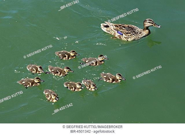 Mallards (Anas platyrhynchos), female with chicks, Lake Constance, Vorarlberg, Austria