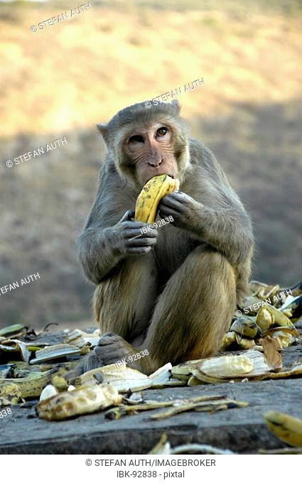 Rhesus macaque (Macaca mulatta) is sitting in in a pile of banana peel eating a banana with its hands Galta canyon Jaipur Rajasthan India