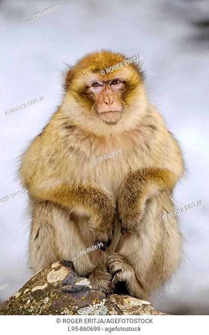 Female Barbay Macaque (Macaca sylvanus) sitting in the snow in winter at the cedar forest, Azrou, Morocco