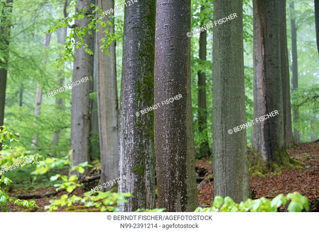Beech forest, relict forest in the Steigerwald, spring, Franconia, Bavaria, Germany