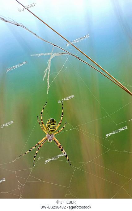 black-and-yellow argiope, black-and-yellow garden spider Argiope bruennichi, sitting in its web, Germany, Rhineland-Palatinate