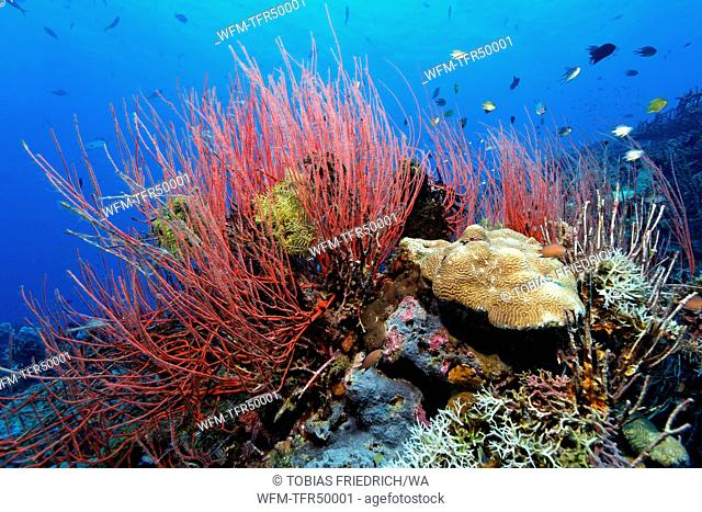 Red Whip Corals in Coral Reef, Ellisella ceratophyta, Kimbe Bay, New Britain, Papua New Guinea
