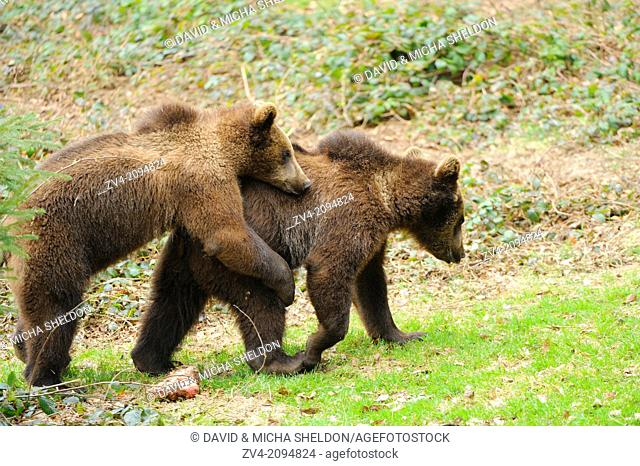 Close-up of two brown bears (Ursus arctos) playing around in the Bavarian Forest, Germany