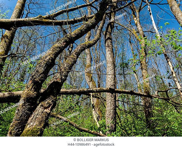 Alder wood at Burgäschisee in the canton of Berne