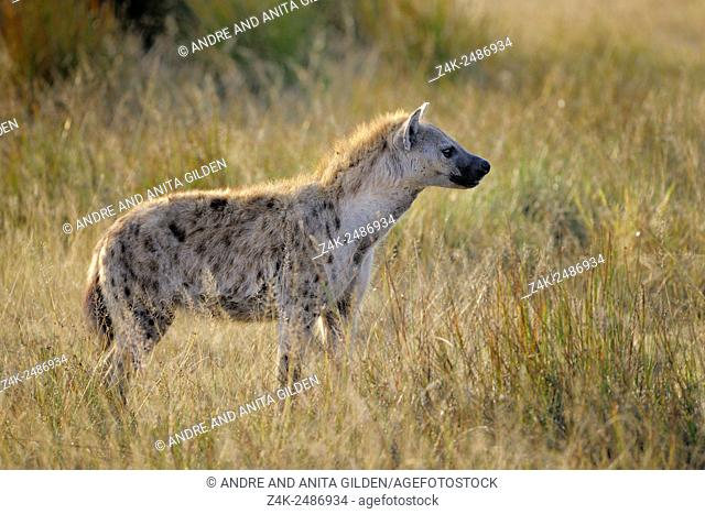 Spotted Hyena (Crocuta crocuta) standing on savanna with back light, Serengeti national park, Tanzania