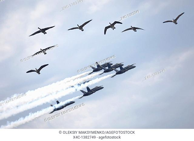 Flock of Canada geese and a formation of jet planes flying by during air show