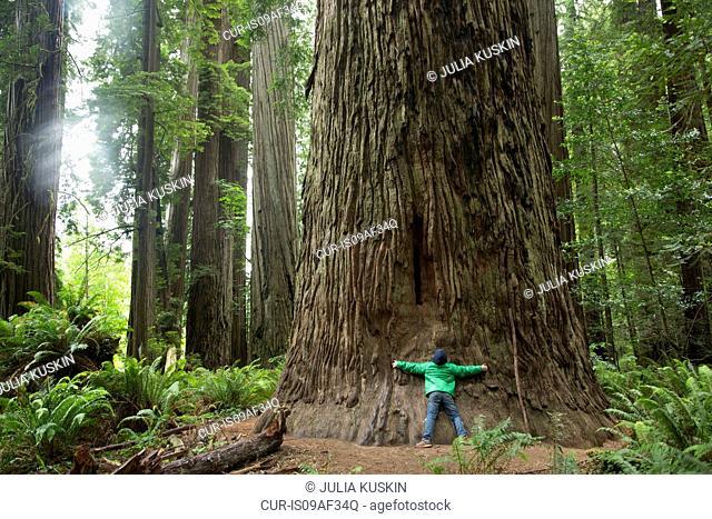 Boy hugging tree trunk, Redwoods National Park, California, USA