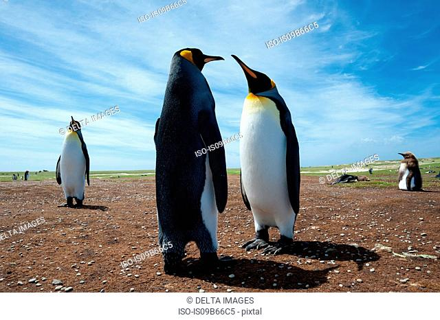 King penguins (Aptenodytes patagonica), at a colony, Port Stanley, Falkland Islands, South America