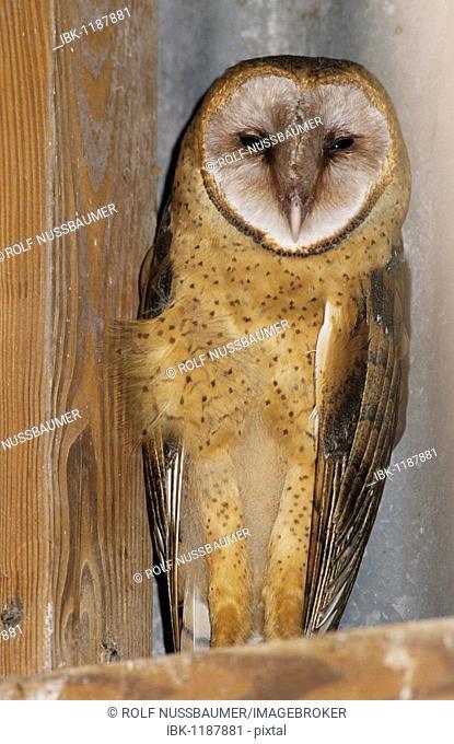 Barn Owl (Tyto alba), adult roosting in barn, Lake Corpus Christi, Texas, USA