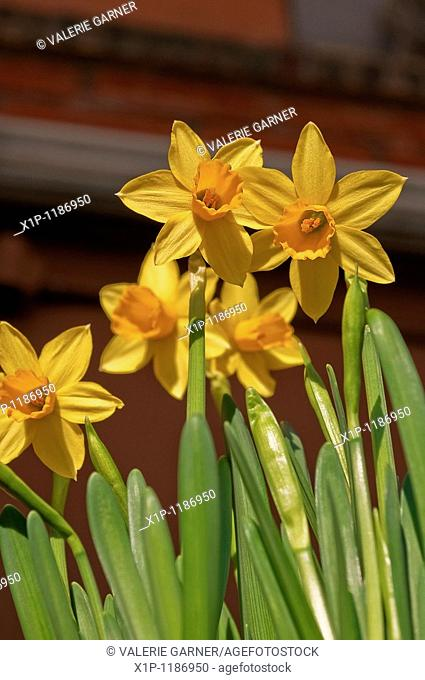 This vertical orientation floral image are some yellow beautiful spring narcissus flowers in an upward view These spring bulbs are a sure sign of better weather...